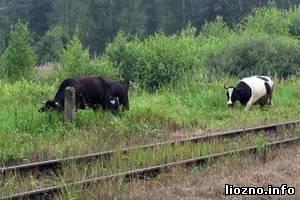 Поезд Адлер – Санкт-Петербург столкнулся со стадом коров