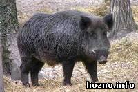 Свинское поведение