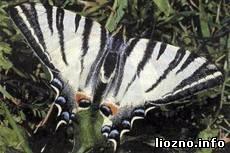 Бабочки Лиозненщины в коллекции Анны Понасенковой