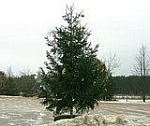 В Лиозно на одну новогоднюю елку стало больше
