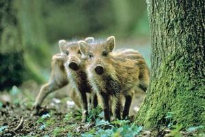 Дикое свинство: Сезон охоты объявлен открытым