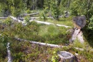 В Лиозненском лесхозе несколько лет не могли вывезти спиленный лес