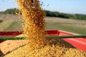 Житель Лиозно незаконно перевозил ячмень и пшеницу