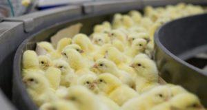 Витебская бройлерная птицефабрика построит новый цех в Лиозненском районе
