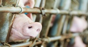 Витебский концерн ведет строительство свиноводческих репродукторов