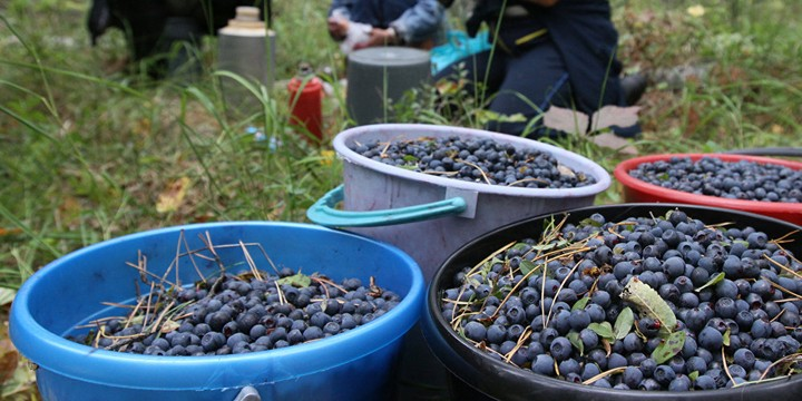 Инструкции по сбору ягод, заготовке дров и веников
